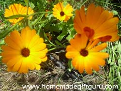 Calendula flowers are one of our favorite edible flowers in this flower guide...